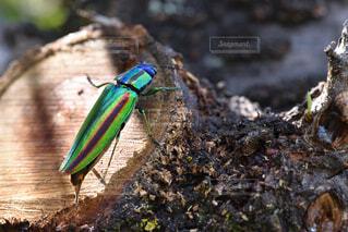 玉虫の写真・画像素材[3679844]