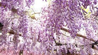 大きな紫色の花は森の中の写真・画像素材[1303043]