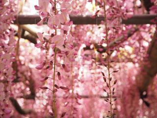 ピンクの藤の花の写真・画像素材[1303044]