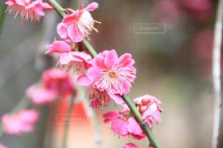 植物にピンクの花の写真・画像素材[1057070]