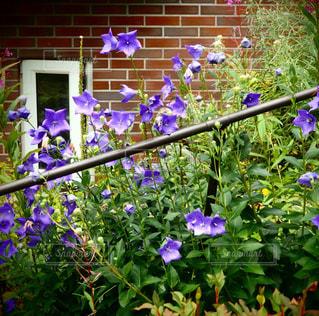 紫の花の写真・画像素材[729708]
