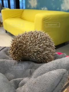 動物 アニマル ハリネズミ かわいい キュートの写真・画像素材[678819]