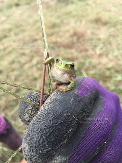 動物 アニマル カエル 蛙 アマガエル かわいい 生き物の写真・画像素材[680156]