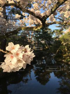 さくら 桜 春 満開 花見 ピンク 花 自然 木の写真・画像素材[680158]