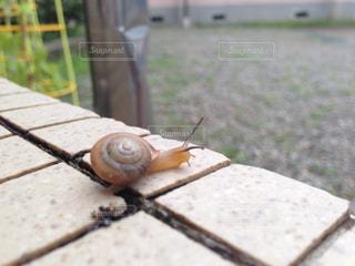 動物 アニマル カタツムリ 5月 生き物 マイマイ 雨の写真・画像素材[681986]