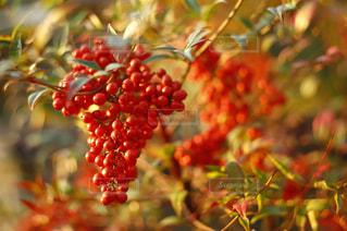 近くに果物の木のアップの写真・画像素材[851245]