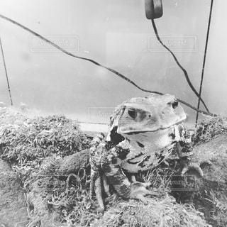 カエルの写真・画像素材[681453]