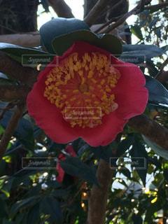椿の花の写真・画像素材[1740438]