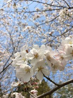 桜の花の写真・画像素材[1029784]