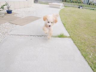 歩道に立っている小さな白い犬の写真・画像素材[979223]
