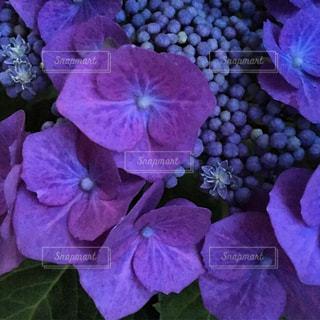 紫の写真・画像素材[682523]