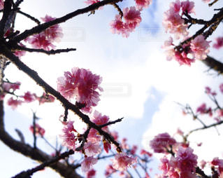桜の写真・画像素材[684488]