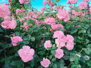 ピンクの花が庭園にの写真・画像素材[1250978]