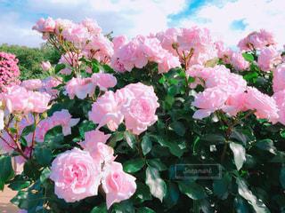 近くの植物にピンクの花のアップの写真・画像素材[1250994]