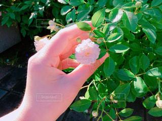 植物を持っている手の写真・画像素材[1251288]