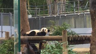 木製フェンスの上に座っているパンダの写真・画像素材[1705087]