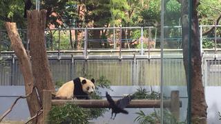 動物園の展示でパンダのクマの写真・画像素材[1705088]