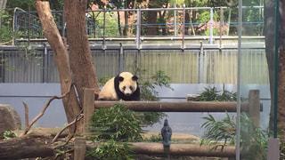 木製フェンスの上に座っているパンダの写真・画像素材[1705089]