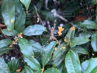 金木犀と蜘蛛の巣の写真・画像素材[3770124]