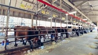 牛舎で餌を食べる牛たちの写真・画像素材[4026932]