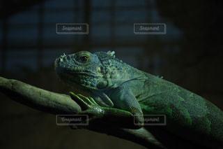 近くに爬虫類のアップの写真・画像素材[1029114]