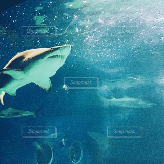 サメ。の写真・画像素材[1832908]