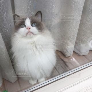 窓際の猫の写真・画像素材[1047830]