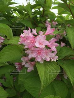 緑の葉とピンクの花の写真・画像素材[756548]
