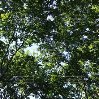 森の大きな木の写真・画像素材[705647]