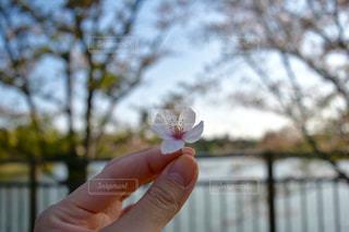桜 - No.690017