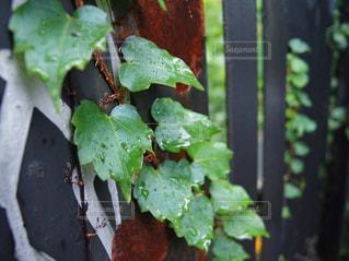 雨に濡れる葉の写真・画像素材[690472]