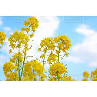 菜の花の写真・画像素材[690474]