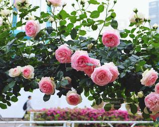 薔薇の花の写真・画像素材[690476]