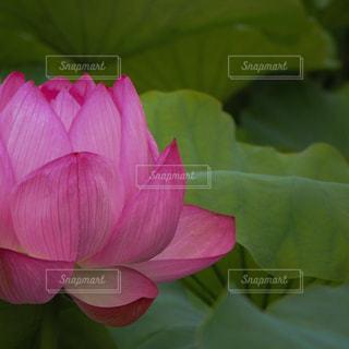 蓮の花の写真・画像素材[690483]