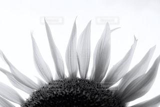 夏の終わり〜ひまわりの写真・画像素材[724864]