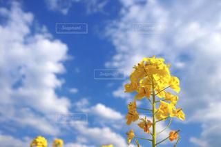 菜の花の写真・画像素材[1015994]