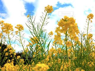菜の花畑の写真・画像素材[1016010]