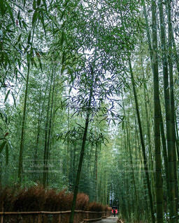 京都嵐山  竹林の小径の写真・画像素材[1060415]
