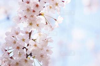 満開の桜の写真・画像素材[1062739]