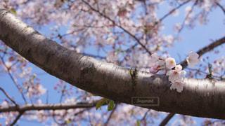 満開の桜の写真・画像素材[1062751]