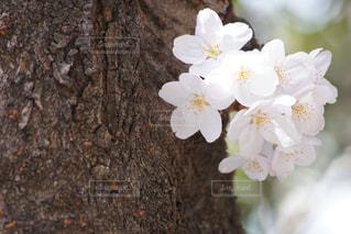 満開の桜の写真・画像素材[1062753]