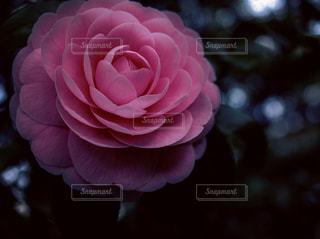 ひっそりと咲く乙女椿の写真・画像素材[1077732]