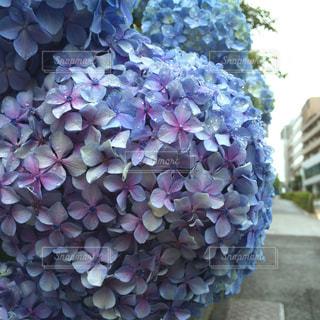 紫陽花の写真・画像素材[2144217]