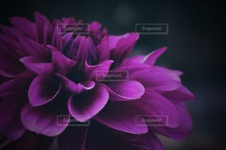 深紫のダリアの写真・画像素材[2144225]
