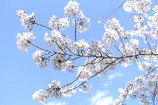 桜の写真・画像素材[2144229]