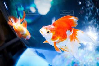 金魚の写真・画像素材[2144241]
