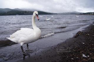 野生の白鳥の写真・画像素材[2145311]