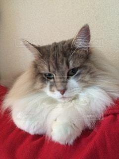 猫の写真・画像素材[696019]