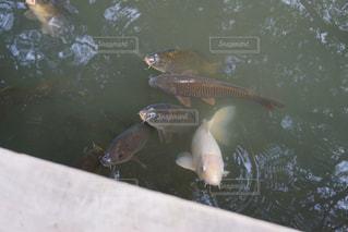 水面下を泳ぐ魚たちの写真・画像素材[1531022]