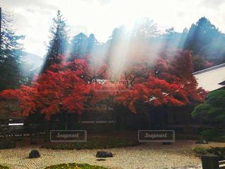雷山の楓の写真・画像素材[880155]